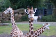 """<p>Houston's giraffe cam provides some entertaining footage. Sit comfortably and watch the long-necked creatures chomp on vegetables and enjoy the sunshine. It even enables you to zoom in to the enclosure for a closer look. </p><p><a class=""""link rapid-noclick-resp"""" href=""""https://www.houstonzoo.org/explore/webcams/giraffe-feeding-platform/"""" rel=""""nofollow noopener"""" target=""""_blank"""" data-ylk=""""slk:WATCH NOW"""">WATCH NOW</a></p>"""