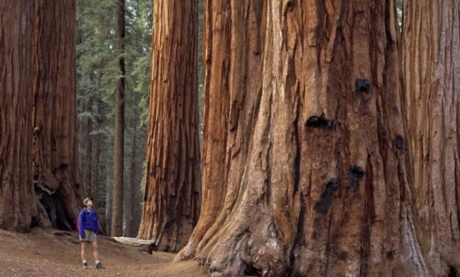 A hiker stares up at a giant California redwood in the Sequoia National Park.