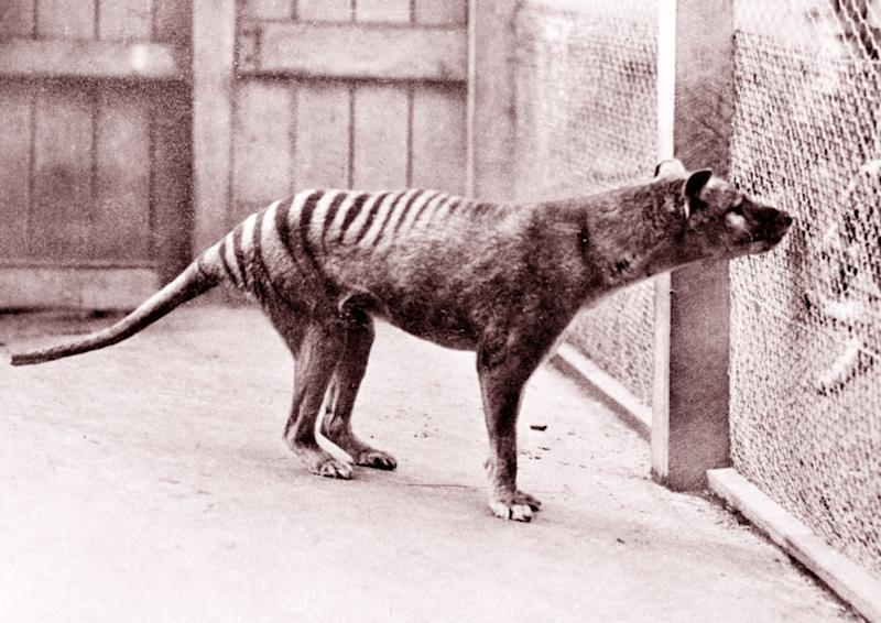 A picture of the now extinct Tasmanian Tiger. Source: Getty