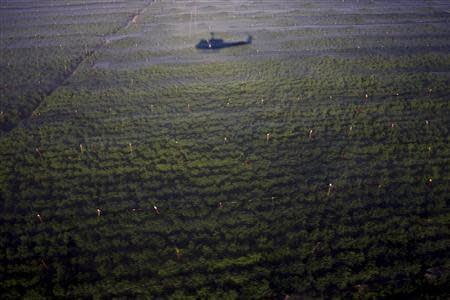 An army helicopter casts a shadow over parts of the biggest marijuana plantation found in Mexico, in San Quintin, about 350 km (220 miles) away from Tijuana in this July 13, 2011 file photo. REUTERS/Jorge Duenes/Files