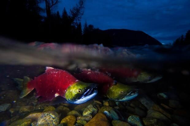 There are at least 13 genetically different sockeye salmon that spawn in the rivers or tributaries of the Skeena River watershed.