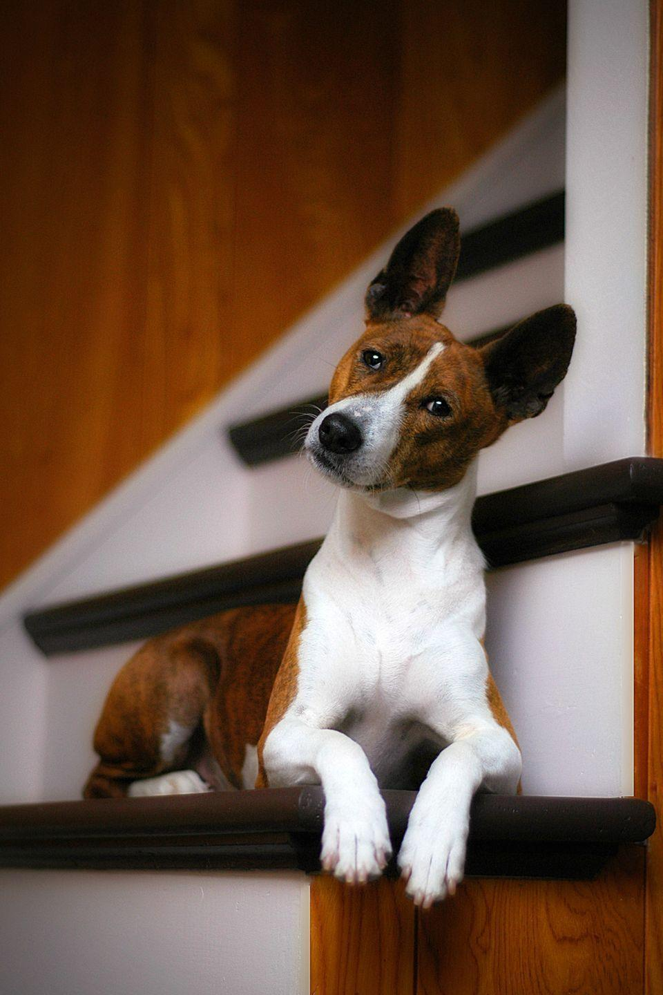 """<p>Basenjis originated as African hunting dogs, but they don't howl and yap like a lot of hounds have earned a reputation for doing. They have short, fine hair that sheds minimally, so you'll barely know they live with you. <a href=""""https://www.goodhousekeeping.com/life/pets/g26100022/healthiest-dog-breeds/?slide=3"""" rel=""""nofollow noopener"""" target=""""_blank"""" data-ylk=""""slk:Basenjis"""" class=""""link rapid-noclick-resp"""">Basenjis</a> also have a catlike demeanor, and these fastidious little creatures will even groom themselves. </p>"""