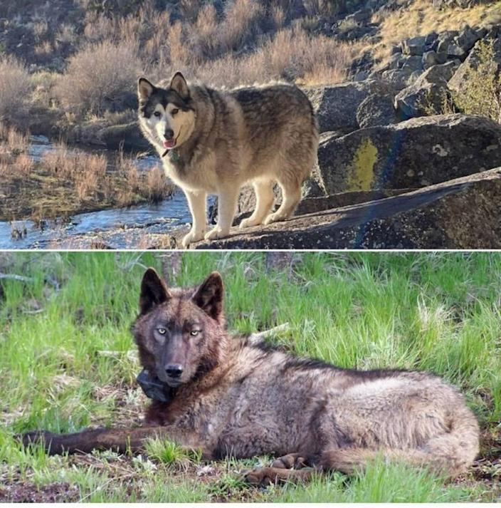 Suki, above, is an Alaskan malamute that was shot after being mistaken for a wolf. Below, a 2014 photo from Oregon Department of Fish and Wildlife shows a male gray wolf.