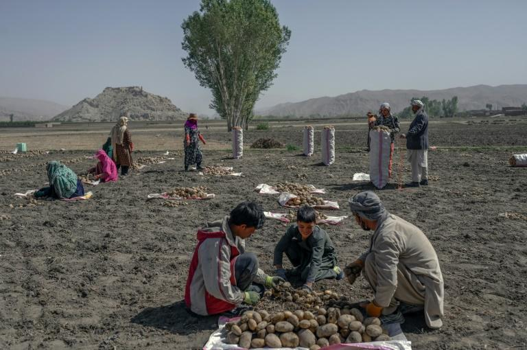 Some Bamiyan families are surviving by working on potato farms (AFP/BULENT KILIC)
