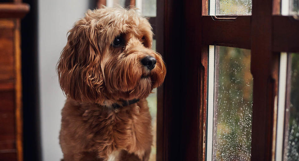 A dog looks out a window. Source: Getty Images