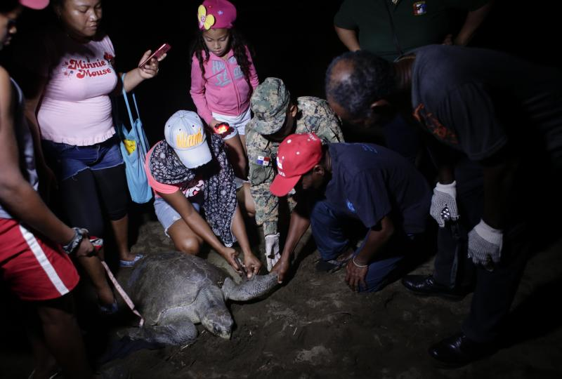 CORRECTS SPECIES OF TURTLES - In this Sept. 21, 2019 photo, residents and police collect turtle eggs from the nest of an olive ridley sea turtle, on a beach in Jaque, Panama. Ivan Valencia, 57, right center wearing a red cap, who arrived here as an adolescent from a town bordering Colombia, has been doing this for 18 years in the face of threats from poachers. (AP Photo/Arnulfo Franco)