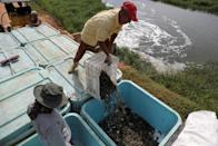Workers collect shrimp from an artificial lake at a production farm near Maracaibo
