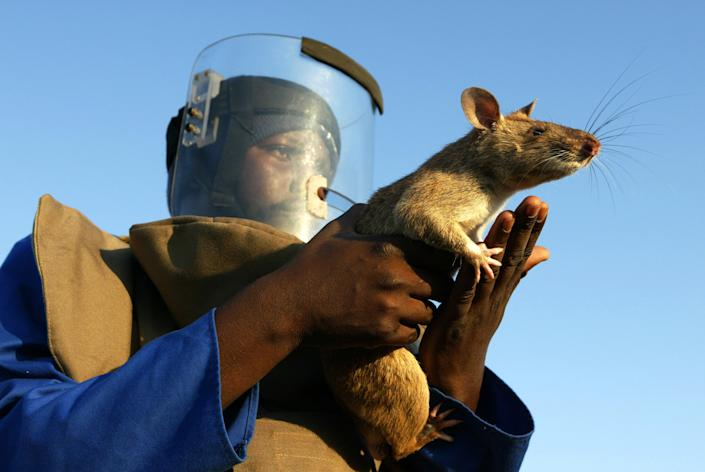 A worker holds a mine detecting Gambian giant pouch rat at a mine field in southern Mozambique. The rats primarily eat fruit and grains but have been know to also eat insects, crabs and snails, according to the Fish and Wildlife Conservation Commission. REUTERS/Howard Burditt/Files