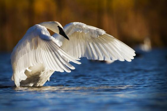 The Trumpeter Swan returns from the brink of extinction