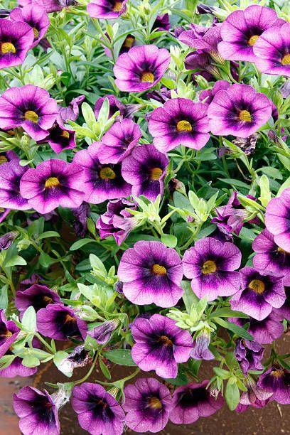 "<p>These annuals give you the most amazing show from spring to hard frost. They come in single or double blooms in every color you can imagine from white to deep purple to salmon to hot pink, and they look amazing in baskets, window boxes, or planting beds. Calibrachoa need full sun. </p><p><a class=""link rapid-noclick-resp"" href=""https://www.provenwinners.com/plants/calibrachoa/superbells-doublette-love-swept-double-calibrachoa-calibrachoa-hybrid"" rel=""nofollow noopener"" target=""_blank"" data-ylk=""slk:SHOP CALIBRACHOA"">SHOP CALIBRACHOA</a></p>"