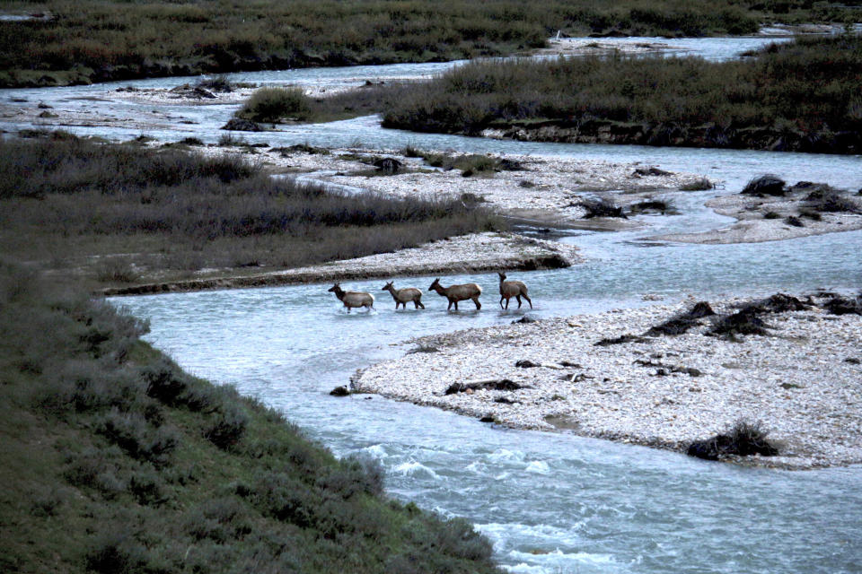In this photo provided by the Wyoming Migration Initiative, migratory elk cross Granite Creek in the Bridger-Teton National Forest, Wyoming, on May 19, 2018. Big-game animals have traveled the same routes across Western landscapes for millennia but scientists only recently have discovered precisely where they go in pursuit of the best places to spend summer or wait out winter. Now the U.S. Geological Survey has published a collection of migration maps based on the latest research using GPS tracking and statistical analysis techniques. (Gregory Nickerson/Wyoming Migration Initiative, University of Wyoming via AP)