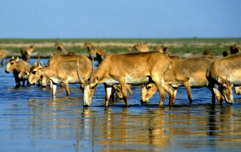 Poaching has been a persistent threat to the Saiga