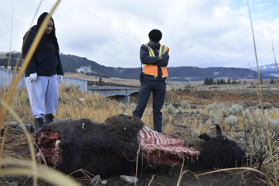 Taylor Bland, left, and Jeremy SunderRaj, with Yellowstone National Park's wolf project, look at a bison carcass that a pack of wolves had been feeding on the night before in Yellowstone National Park, Wyo., Wednesday, Oct. 21, 2020. The carcass was later moved so it would not attract animals to a nearby road where they could be killed. Wolves have repopulated the mountains and forests of the American West with remarkable speed since their reintroduction 25 years ago, expanding to more than 300 packs in six states. (AP Photo/Matthew Brown)