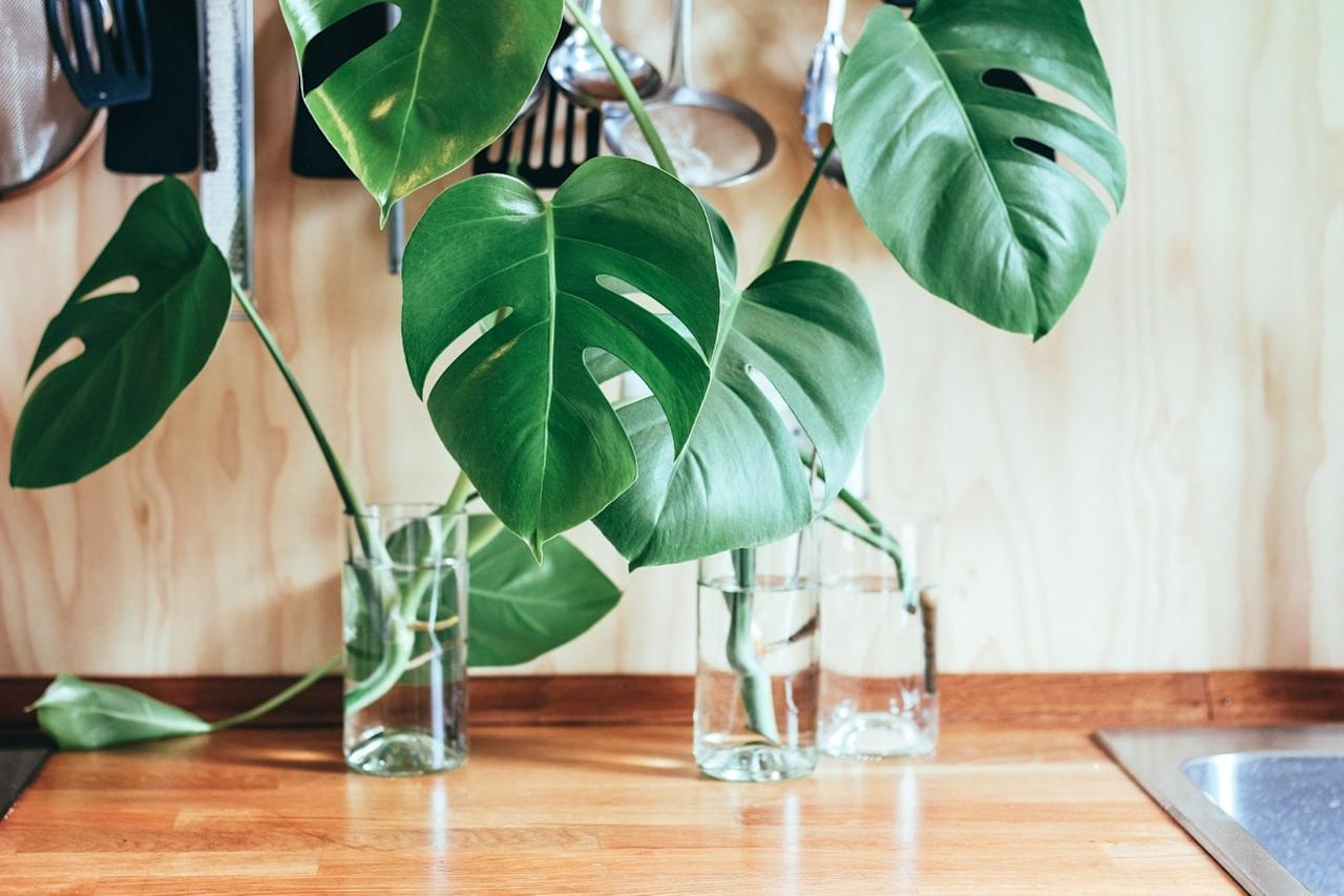 <p><strong>JH:</strong> Too much water actually kills more houseplants per year than any other single cause. Monstera is no exception. As it grows, it's used to forming lots of aerial roots that cling onto tree trunks, so the roots tend to rot if they stay wet and soggy. Let the top inch or two of the potting mix dry between waterings, and if in doubt, it's better to keep it a little too dry than a little too wet.  </p>