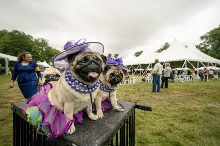 Matty Pugdashian, a pug, rests following their breed judging at the 145th Annual Westminster Kennel Club Dog Show, Saturday, June 12, 2021, in Tarrytown, N.Y. (AP Photo/John Minchillo)