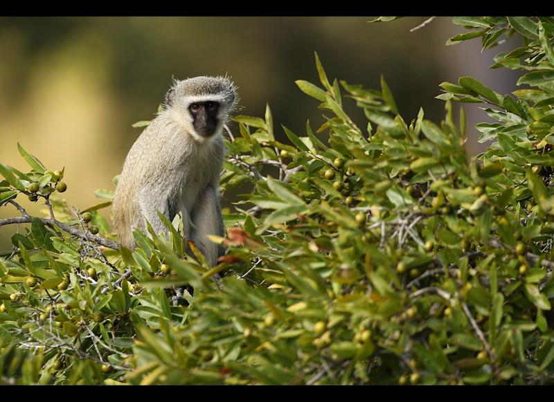 A vervet monkey rests on a tree in the 21,000-acre Edeni Game Reserve, South Africa. <em>Photo by Cameron Spencer/Getty Images</em>