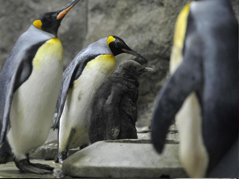Calgary Zoo in Alberta, Canada, has moved its king penguins indoors: AFP/Getty
