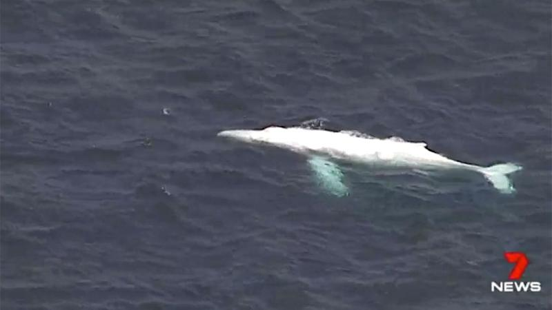 The moment the magestic whale appeared. Source: 7 News