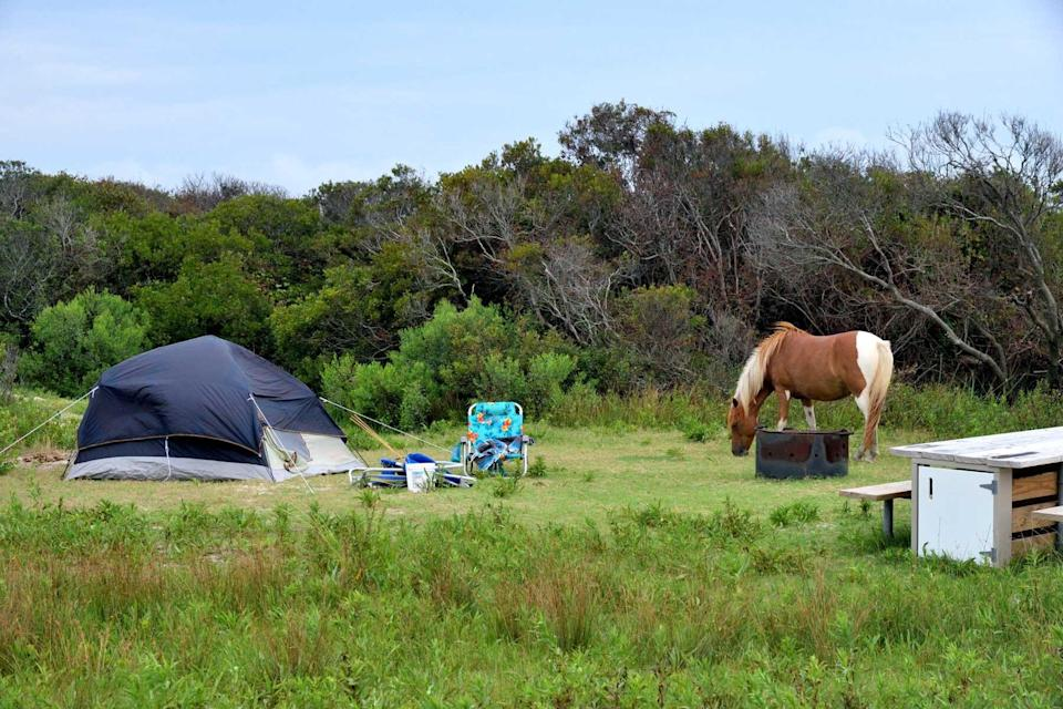An Assateague, chincoteague if you prefer, pony grazing in the campground reserved for tent campers on a august morning.