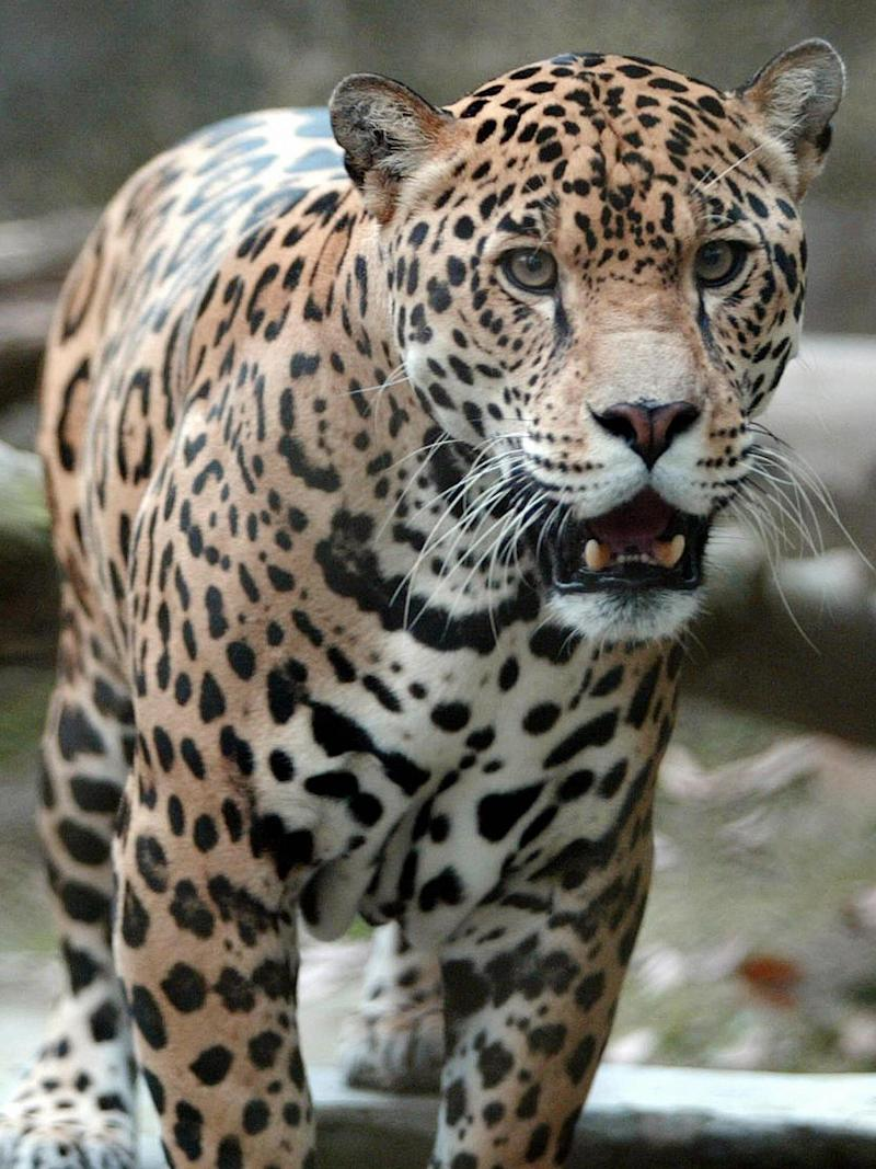 Changing our spots: if we don't change our diets then animals, such as jaguar, face extinction (AFP/Getty)