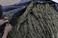 A man cleans marijuana grown in the mountains surrounding Badiraguato, Sinaloa state, Mexico, Tuesday, April 6, 2021. In Mexico, the marijuana legalization effort is generating uncertainty among families that have cultivated the crop for generations, with many fearing that prices they are paid will continue to drop and what capos will do when faced with a new legal business. (AP Photo/Eduardo Verdugo)