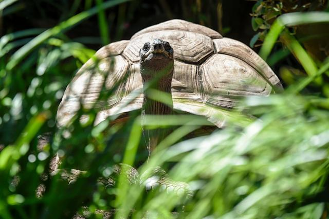 Rebel Tortoise Escapes Zoo but Fails to Make It Farther Than 460 Feet in Two Weeks