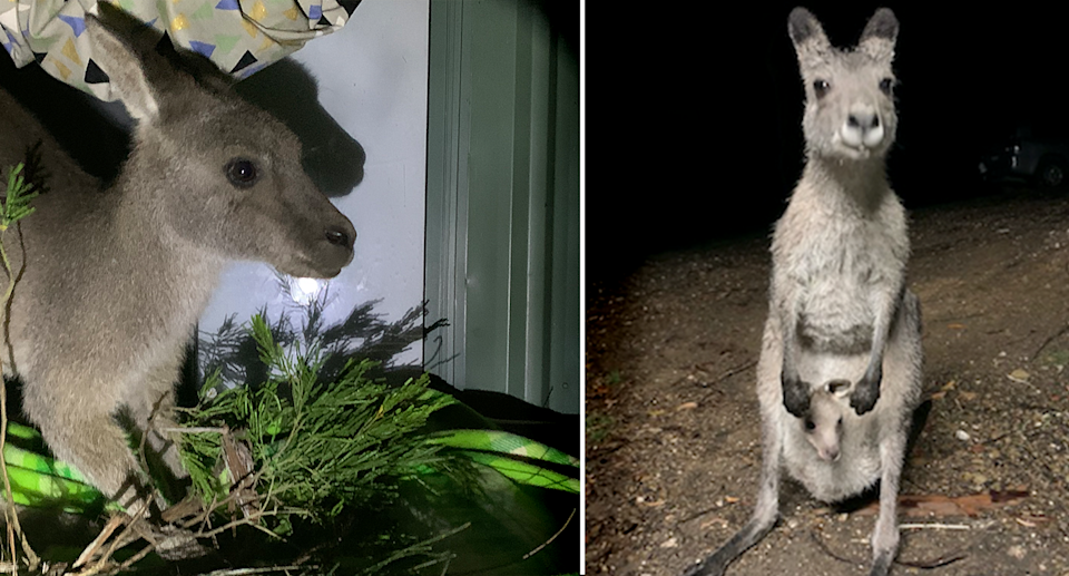 Left - Clover in April after returning. Image is shot at night and there is food in the foreground. Right - Clover in December with her baby in her pouch.