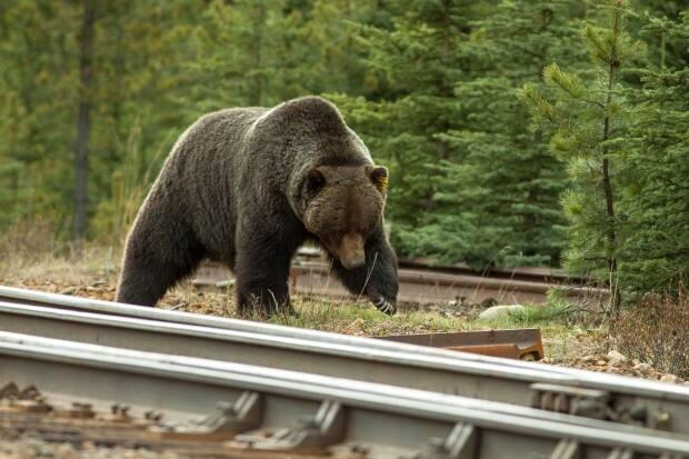A female grizzly and her cub were struck and killed by a train in Banff National Park on Thursday. (Submitted by Niels de Nijs - image credit)