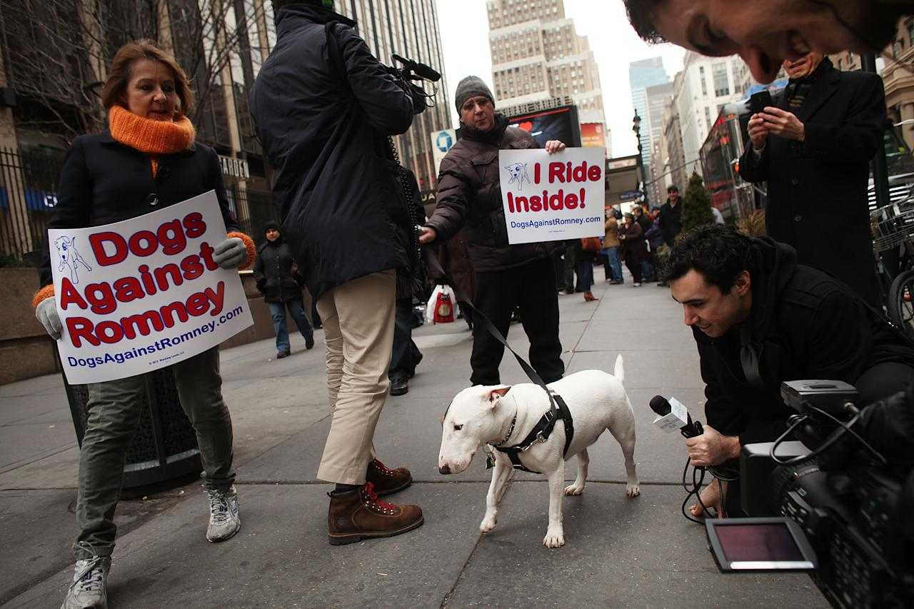 NEW YORK, NY - FEBRUARY 14: Members of the media gather around an English bull terrier named Petey during a small protest by a group called Dogs Against Romney outside of the Westminster Kennel Club Dog Show on February 14, 2012 in New York City. The group is incensed that the GOP presidential candidate Mitt Romney once confessed to placing his dog in a crate on top of the family car while driving to a vacation home.  (Photo by Spencer Platt/Getty Images)