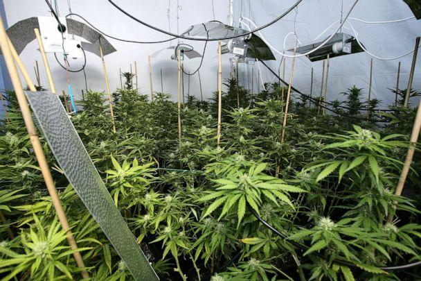 PHOTO: Marijuana plants flourish at a cannabis factory raided by police at a house in East London, March 10, 2009. (Lewis Whyld/PA Wire via AP, FILE)
