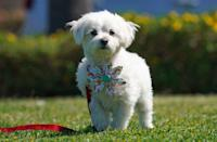"""<p>The Maltese, a.k.a. the """"Ancient Dog of Malta,"""" has a showstopping white coat when it's kept long. These pups are adaptable and also make pretty good watchdogs. <strong><br></strong></p><p><strong>Weight: under 7 pounds</strong></p>"""