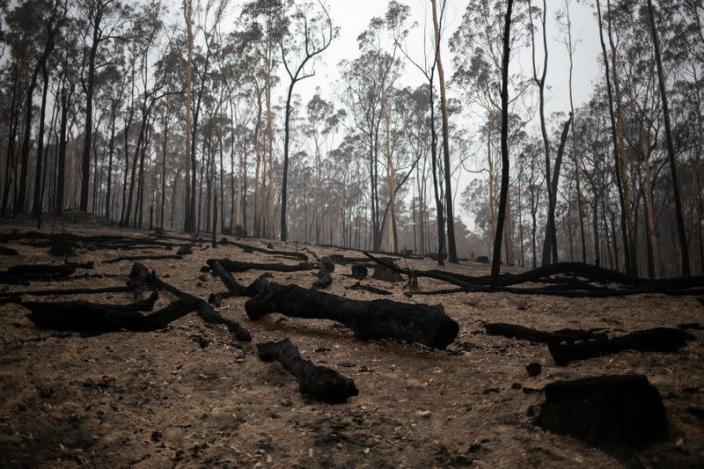 Burnt tree logs are seen in the fire-grounds near Batemans Bay