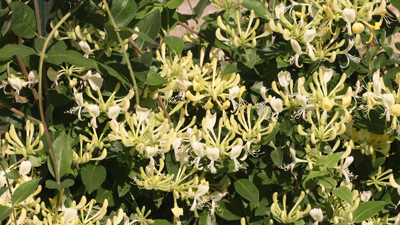 <p>This showy, vigorous perennial vine spills beautifully over a trellis or fence-line and pollinators love it, says Tankersley. Look for the native or newer types, which are not invasive like Japanese honeysuckle. Prefers full sun.<br></p><p><em>Try:</em></p><p>•<strong>Yellow honeysuckle</strong>: native variety which tolerates a variety of soils</p><p>•<strong>Scentsation</strong>: flowers from mid-spring to late summer, followed by bright red berries</p>