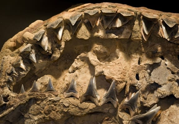This well-preserved fossil is the only intact partial skull ever found of a white shark that lived about 4.5 million years ago named Carcharodon hubbelli.