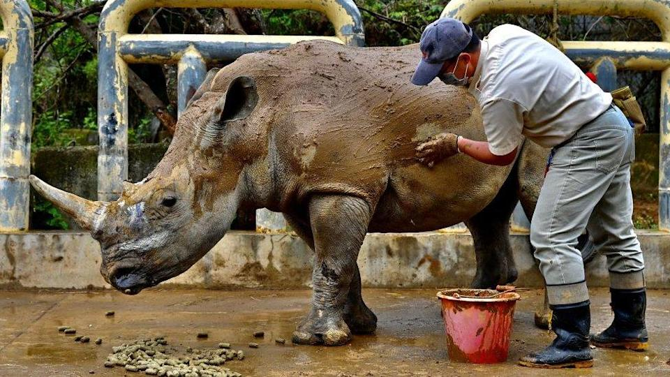 The white rhino is endangered, with just 19,000 left in the wild