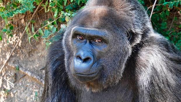 Trudy, oldest gorilla in captivity, dies