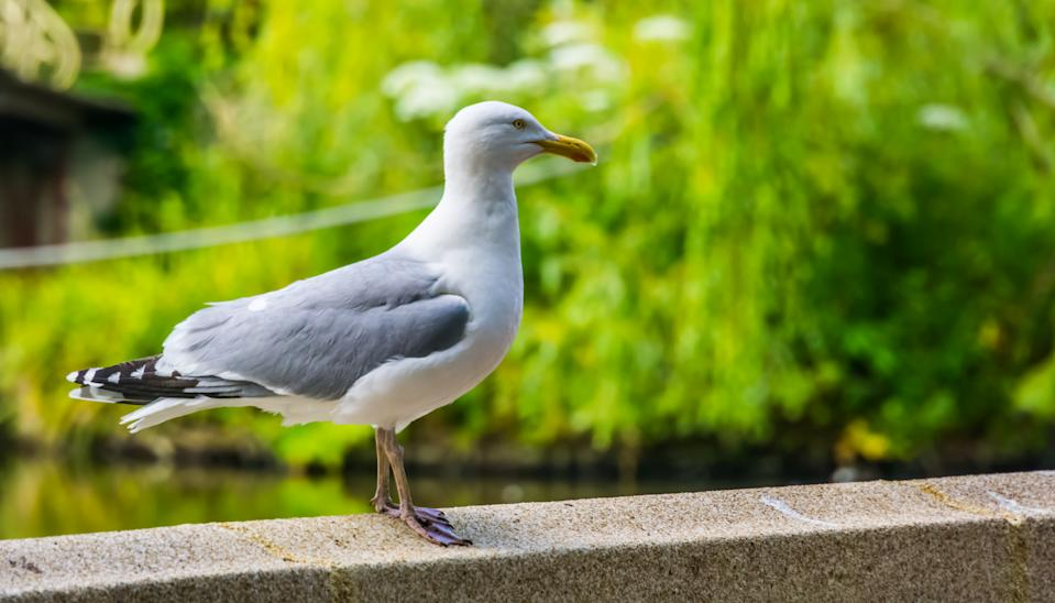 closeup of a european herring gull, popular and common wild bird specie in europe