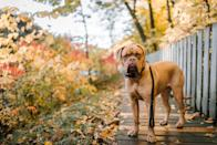 "<p>When you think of a big dog, the <a href=""https://www.akc.org/dog-breeds/mastiff/"" rel=""nofollow noopener"" target=""_blank"" data-ylk=""slk:Mastiff"" class=""link rapid-noclick-resp"">Mastiff</a> comes to mind. The males can weigh as much as 230 pounds as adults, and the females can also weigh as much as 170 pounds. But these dogs are as courageous and good-natured as they are large: The Mastiff makes a devoted guardian of their families; that said, a natural wariness of strangers makes early training and socialization essential.</p>"