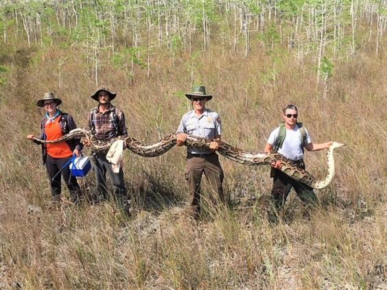 The largest Burmese python ever to be removed from Big Cypress National Preserve (Florida Everglades National Park Service)