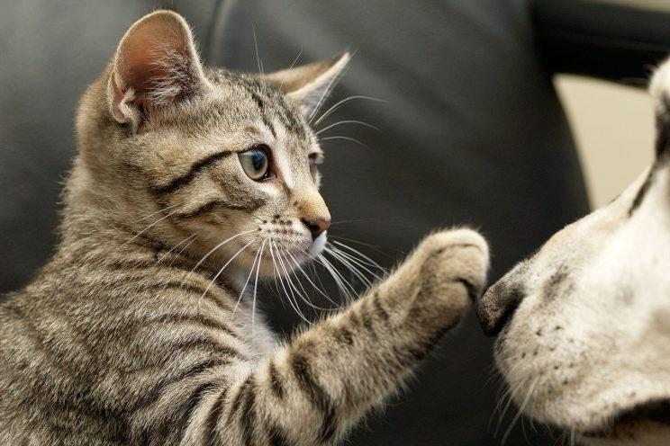 Tortoise shell kitten happily plays with Dalmatian dog. (Photo: Getty Images)