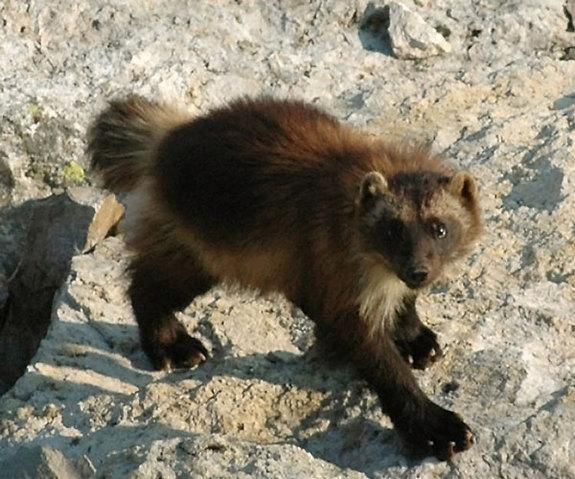 Climate Change Could Melt Wolverines' Snowy 'Refrigerators'