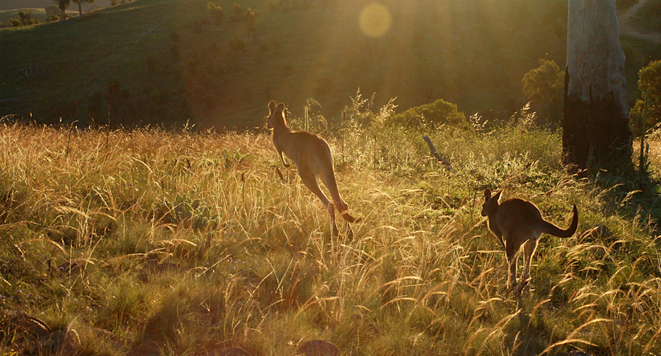 Kangaroos are harmed at a disproportionate rate according to Wildlife Victoria. Source: Getty