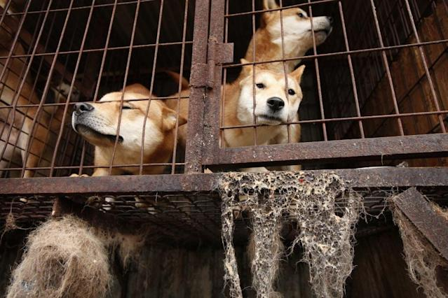 <p>Dogs locked in a cage at a dog meat farm in Wonju, South Korea in November 2016, as Humane Society International stepped in to close the farm and rescue all 150 dogs who would otherwise have been killed for their meat. HSI flew the dogs from this farm to the UK and United States for adoption, as part of an ongoing programme to demonstrate that working in partnership with dog farmers to end the dog meat trade in South Korea is possible. This image was featured in the charity's celebrity-attended photo exhibition at Parliament on July 11th. (Photo by Woohae Cho/AP Images for Humane Society International) </p>