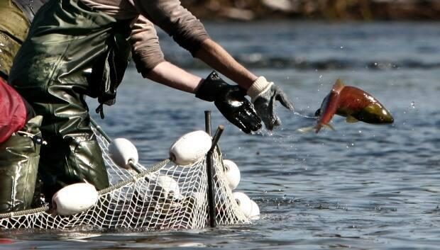 A worker with the Canadian Department of Oceans and Fisheries tosses a sockeye salmon back into  the water during tagging on the Adams River in 2006.