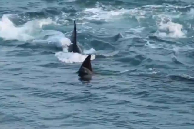 Sea lion pup escapes jaws of death by hopping onto Argentine beach out of reach of orca pod