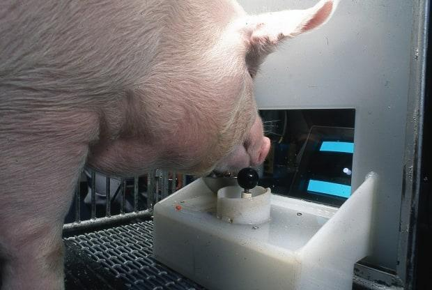 Omelette works the joystick for a video game as part of a study of porcine intelligence. (Penn State College of Agricultural Sciences - image credit)