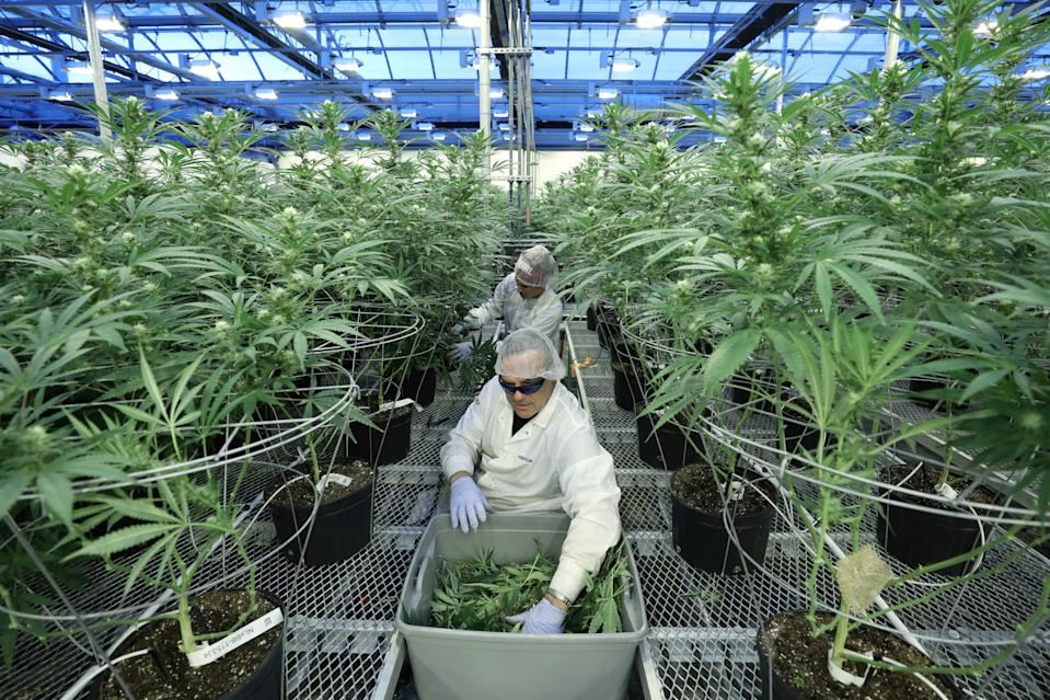 Hexo, though its joint venture with Molson Coors Canada (TPX-B.TO), has emerged as a leader in cannabis-infused beverages.