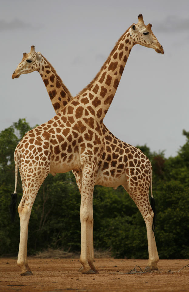 In this Aug. 1, 2009 photo, a pair of giraffes from Africa's most endangered giraffe subspecies stand in the bush near Koure, Niger. By all accounts, they should be extinct. Instead, their numbers have quadrupled to 200 since 1996, an unlikely boon experts credit to the concurrence of an impoverished government keen for revenue that has enacted laws to protected them, a conservation program that encourages people to support them, and a rare harmony with humans who have accepted their presence. (AP Photo/Rebecca Blackwell)