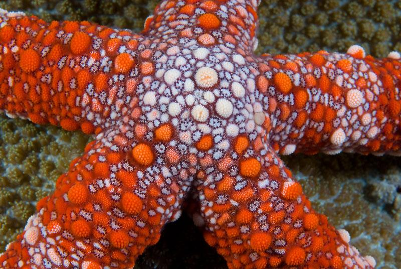 Friant's Sea Star (Nardoa frianti), New Britain, Papua New Guinea. Copyright:              © Jurgen Freund / WWF-Canon