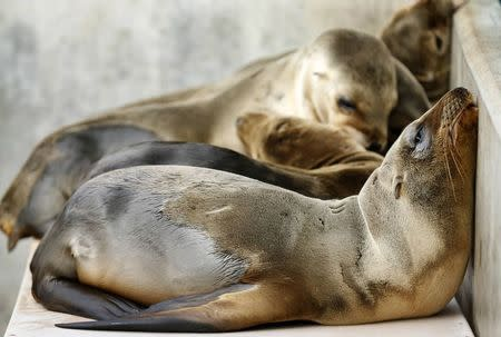 6Rescued California sea lion pups rest in their holding pen at Sea World San Diego in San Diego, California January 28, 2015. REUTERS/Mike Blake